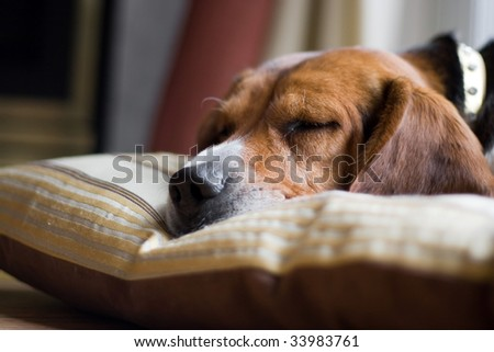 A young beagle pup sleeping on his pillow.  Shallow depth of field. - stock photo