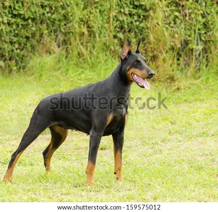 A young, beautiful, black and tan Doberman Pinscher standing on the lawn looking happy and playful. Dobermann is a breed known for being intelligent, alert, and loyal companion dogs.