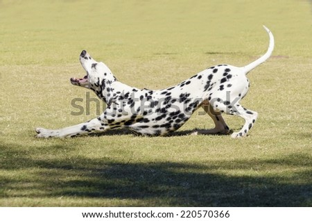 A young beautiful Dalmatian dog stretching and yawning on the grass distinctive for its white and black spots on its coat and for being alert, active and an intelligent breed. - stock photo