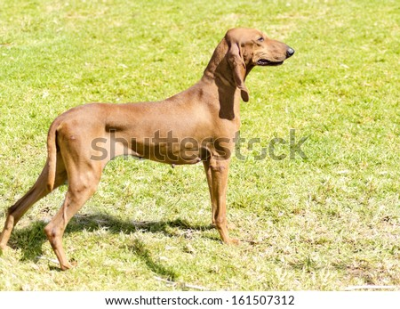 A young, beautiful, fawn red brown smooth coated Segugio Italiano dog standing on the grass being alert. The Italian Hound dog has a long head and ears and is used as a hunting dog. - stock photo