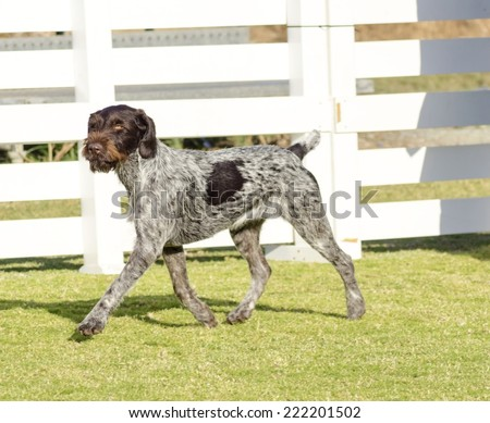 A young, beautiful, liver, black and white ticked German Wirehaired Pointer dog walking on the grass. The Drahthaar has a distinctive eyebrows, beard and whiskers and straight harsh wiry coat. - stock photo