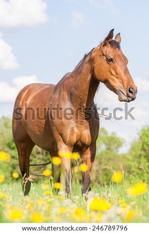 A young beautiful Thoroughbred mare standing in blooming field - stock photo