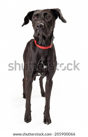 A young black labrador retriever dog standing looking off to the side alert