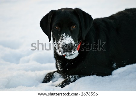 A young black labrador retriever puppy playing in the snow. - stock photo