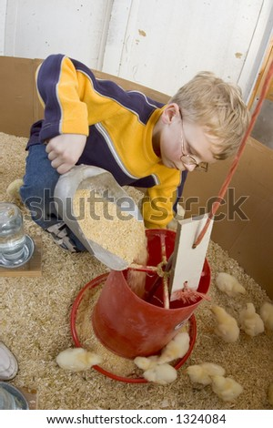 A young boy feeds baby chicks inside of a chicken house in Illinois (15) - stock photo
