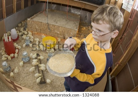 A young boy feeds baby chicks inside of a chicken house in Illinois (11) - stock photo