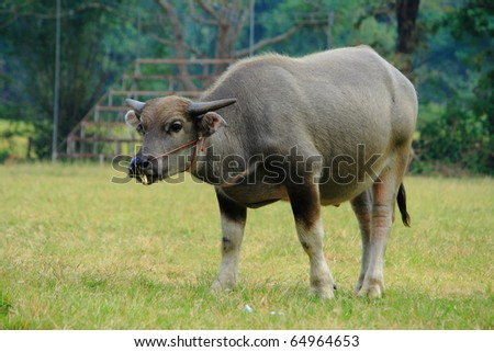 a young brown buffalo grazing grass in a green field - stock photo
