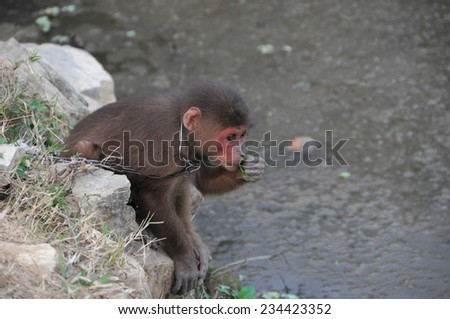 A Young Brown Monkey in Chains in Vietnam - stock photo