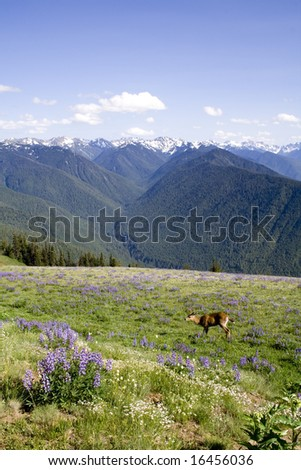 A young buck with antlers grazes in the Olympic Mountains - stock photo