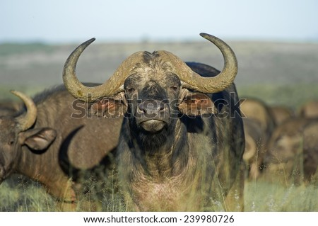 A young Buffalo Bull approaches the Photographer - stock photo