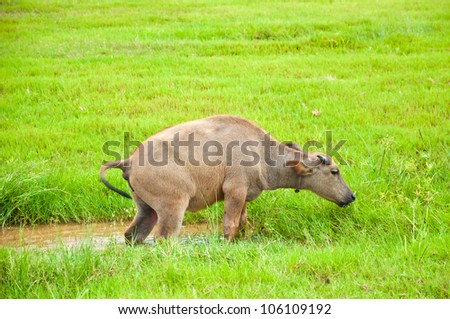 A Young Buffalo Stepping Up From The Mud Puddle - stock photo