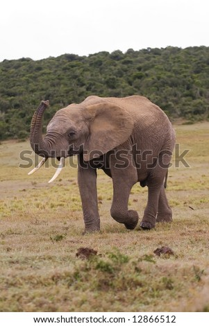 A young Bull elephant smells the air for Danger