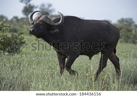 A Young Bull in a swampy area of the African Savannah - stock photo