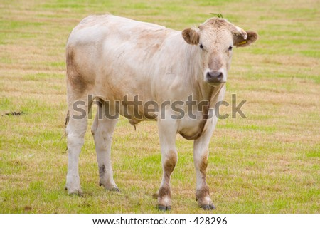 A young bull stares belligerently at the camera - stock photo