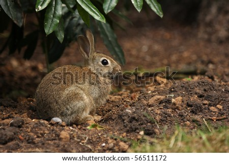 A young bunny rabbit sat on some soil underneath a green bush watching the camera - stock photo