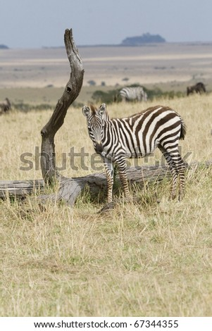 A young Burchell's zebra grazes on the plains of the Masai Mara during the Great Migration. - stock photo