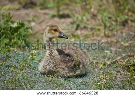 A young Canada gosling (Branta canadensis) sits in the grass.