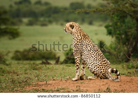 A young cheetah scans the plains of Masai Mara for prey - stock photo
