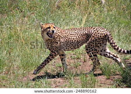 A young Cheetah snarls as it runs in a game park in South Africa. - stock photo