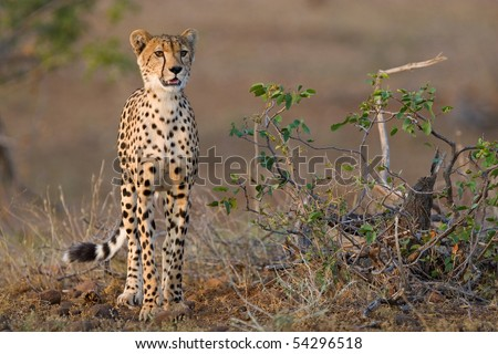 A young cheetah standing next to a small mopane shrub in late afternoon light - stock photo