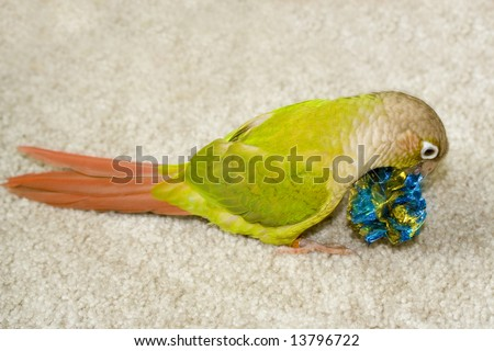 A young cinnamon green cheeked conure playing with a favorite toy. - stock photo