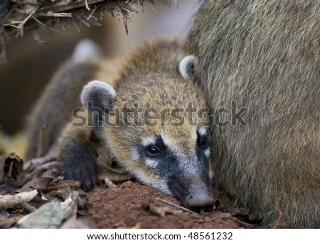 A Young Coati Mundi resting close to his mother's side - Argentina. - stock photo