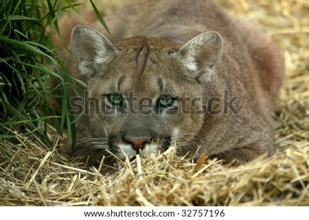 A young cougar (Puma concolor) demonstrating stalking behaviour. - stock photo
