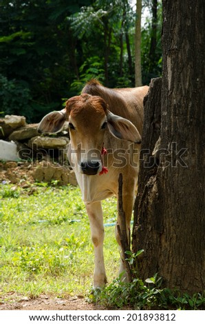 A young cow - stock photo