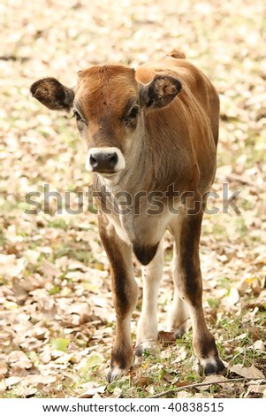 A young curious calf looks at the photographer