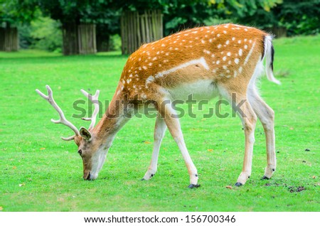 A young deer grazing on green grass