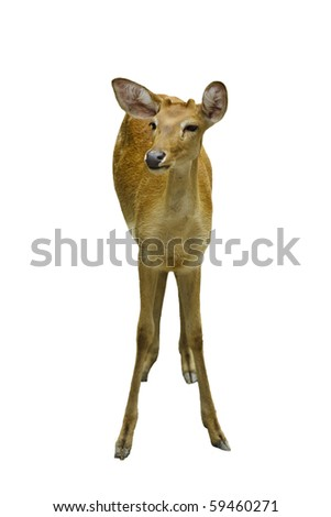 A young deer. isolated on white background - stock photo
