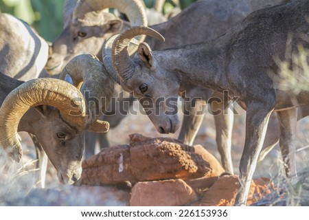 A young Desert Bighorn Ram learns the waterhole hierarchy via some gentle horn locking from an older ram. Another older ram in the same flock watches over the scene. - stock photo