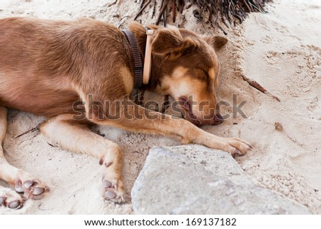 A young dog, tired from morning play, sleeps under a palm tree and next to a rock on a beach in San Pedro, Belize. Her owner sells jewelry on the beach. - stock photo