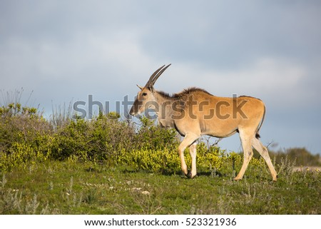 A young Eland antelope (Taurotragus oryx) on the skyline in short flower rich grassland, De Hoop National Park, South Africa