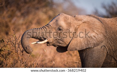 A young Elephant feeds of the branches of a small shrub. - stock photo