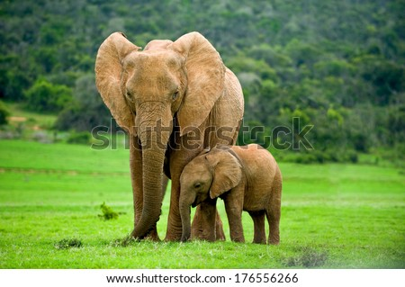 A young elephant right next to an adult one. - stock photo