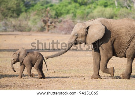 A young elephant smells her even younger sibling with her trunk - stock photo