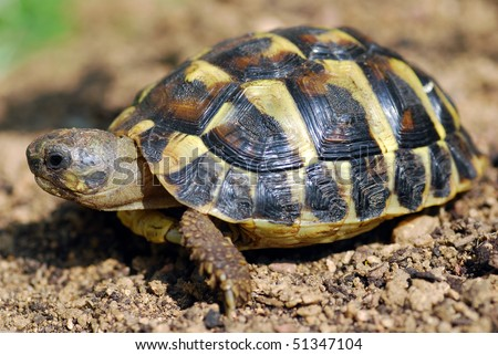 A young endangered Mediterranean Tortoise - stock photo