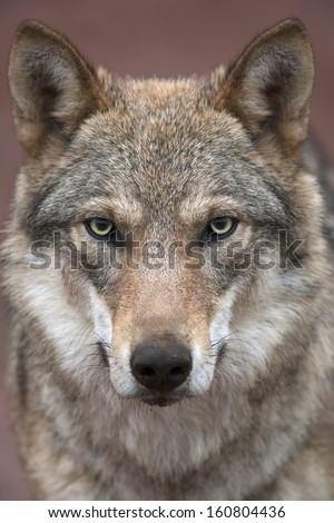 A young european wolf female with soiled nose, looking straight into the camera. Face portrait of a forest dangerous beast, Canis lupus lupus, on blur pink background. Beauty of the wildlife. - stock photo