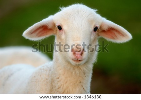 a young ewe - stock photo