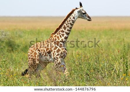 A young giraffe (Giraffa camelopardalis) in Serengeti National Park, Tanzania - stock photo