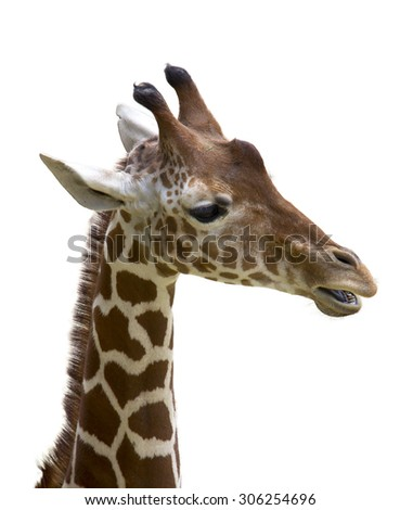 A young giraffe isolated on white background
