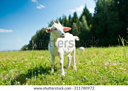 A young goat grazing in a meadow - stock photo