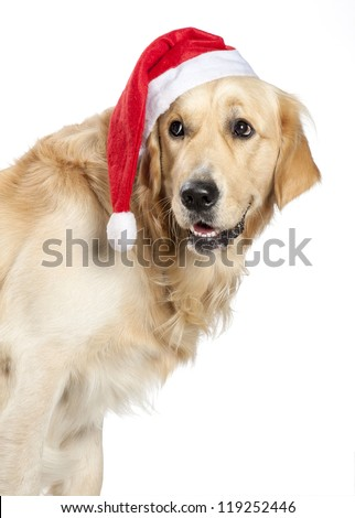 A young Golden Retriever Dog wearing a Santa Claus hat. - stock photo
