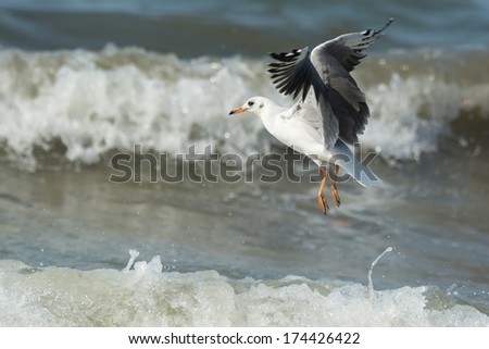 A young Grey-Headed Gull (Larus cirrocephalus) in flight hovering over the ocean waves - stock photo