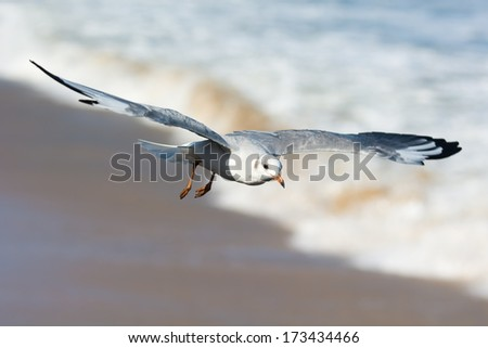 A young Grey-Headed Gull (Larus cirrocephalus) in flight over the sea and sand - stock photo