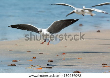 A young Grey-Headed Gull (Larus cirrocephalus) landing on the beach - stock photo