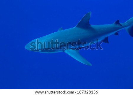 A young grey reef shark at Palau's Blue Corner - stock photo