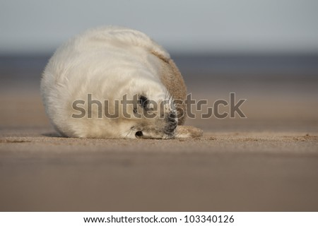 A young Grey Seal pup waiting for its' mother to return from hunting. Photographed at Donna Nook on the Lincolnshire coast in the United Kingdom. - stock photo
