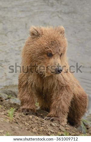 A young grizzly cub waits on the shore while its mother catches salmon at the top of a nearby waterfall - Brook Falls - Alaska